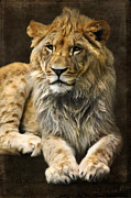Wild Animal Mixed Media Posters - The young lion Poster by Angela Doelling AD DESIGN Photo and PhotoArt