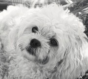 Maltese Puppy Photos - Theres Something About Sophia by Lisa  DiFruscio