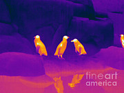 Electromagnetic Spectrum Photos - Thermogram Of Penguins by Ted Kinsman