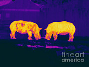 Rhinoceros Framed Prints - Thermogram Of Two White Rhinos Framed Print by Ted Kinsman