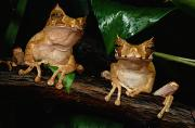 Roosting And Resting Prints - These Are Marsupial Frogs Gastrotheca Print by George Grall