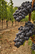 Pinot Noir Photos - They stand alone by Jean Noren