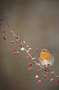 Robin Photos - Theyre All Mine by Andy Astbury