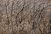 Thicket Photo Originals - Thicket by Carl Deal