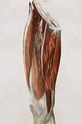 Femoral Artery Prints - Thigh Nerves Print by Sheila Terry