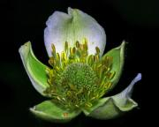 Bottomlands Prints - Thimbleweed Anemone virginiana Print by Ron Kruger