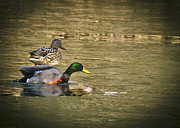 Nature Center Pond Prints - Thin Ice Wet Duck Print by LeeAnn McLaneGoetz McLaneGoetzStudioLLCcom