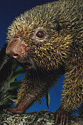 Thin Framed Prints - Thin-spined Porcupine Brazil Framed Print by Mark Moffett