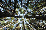 Tall Trees Prints - Things Are Looking Up Print by Donna Blackhall