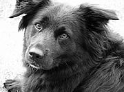 Collie Digital Art Metal Prints - Thinking Metal Print by Amanda Barcon