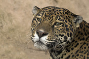 Jaguars Framed Prints - Thinking Framed Print by Cheri McEachin