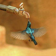 Bird Photos - Thirst by Mukesh Srivastava