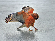 Red-shouldered Hawk Photos - Thirst by Photo by Michael Oberman