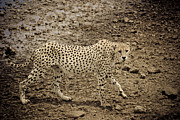 Cheetah Acrylic Prints - Thirsty but cautious cheetah Acrylic Print by Darcy Michaelchuk