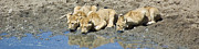 Panoramic - Thirsty Lion Cubs by Darcy Michaelchuk
