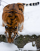 Crouched Prints - Thirsty Siberian tiger in the snow Print by Andrew  Michael