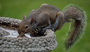 Alexander Spahn - Thirsty Squirrel