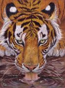 Colored Pencils Drawings Prints - Thirsty Tiger Print by Svetlana Ledneva-Schukina