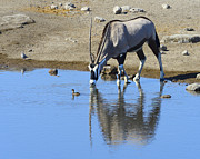 Gemsbok (oryx Gazella) Photos - Thirsty by Tony Beck