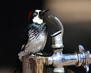 Woodpeckers Photos - Thirsty Woodpecker . 40D9074 by Wingsdomain Art and Photography