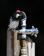 Woodpecker Posters - Thirsty Woodpecker . 40D9079 . Vertical Cut Poster by Wingsdomain Art and Photography