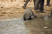 Pinnawela Photos - Thirsty Young Elephant by Darcy Michaelchuk