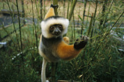 Duke Posters - This Diademed Sifaka Lemur Is Named Poster by Stephen Alvarez