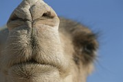 Camel Photos - This Dromedary Camel Is Ready by Carsten Peter