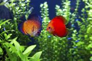 Discus Photo Prints - This Is A Pair Of Orange Discus Or Print by Yuri Arcurs