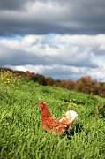 Chicken Photos - This Is As Free Range As A Chicken Can Get by Photo by Keesha Davis
