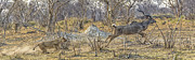 Botswana Prints - This is Botswana No.  1 - Kudu Chase Print by Paul W Sharpe Aka Wizard of Wonders