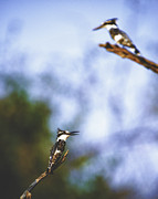 Kingfisher Photo Acrylic Prints - This is Botswana No. 10 - Pied Kingfisher - Ceryle rudis Acrylic Print by Paul W Sharpe Aka Wizard of Wonders