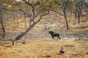 Waterhole Framed Prints - This is Botswana No.  3 - Sable on the Run Framed Print by Paul W Sharpe Aka Wizard of Wonders