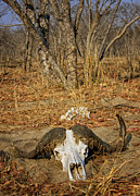 Bison Photos - This is Botswana No.  4 - Cape Bison Skull by Paul W Sharpe Aka Wizard of Wonders