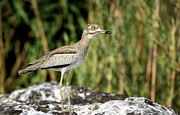 Botswana Prints - This is Botswana No.  5 - Water Thick-knee Print by Paul W Sharpe Aka Wizard of Wonders
