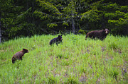 Black Bear Cubs Photos - This is British Columbia No.50 - Black Bear Mother and Cubs by Paul W Sharpe Aka Wizard of Wonders