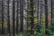 Forest Floor Art - This is British Columbia No.54F - Misty Mystical Moss Forest III by Paul W Sharpe Aka Wizard of Wonders