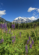 Lupins Prints - This is British Columbia No.70 - Summer at Mount Robson Print by Paul W Sharpe Aka Wizard of Wonders