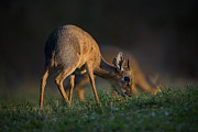 Feeding Photos - This is Namibia No.  3 - Damara Dik-Dik Feeding by Paul W Sharpe Aka Wizard of Wonders