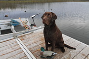 Chocolate Labrador Retreiver Prints - This is not a real duck Print by Gord Patterson