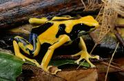 Chromatic Contrasts Posters - This May Be The Poison Frog Dendrobates Poster by George Grall