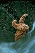 Star Photo Originals - This starfish has a good grip by Sven Brogren