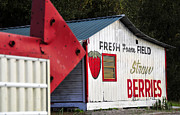 Shed Metal Prints - This way for Strawberries Metal Print by David Lee Thompson