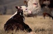 By Animals Prints - This Young Hereford Was Born Print by Sam Abell