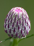 Nature - Thistle Bud by Dale Kincaid