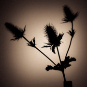 Thistles Photos - Thistle by David Bowman