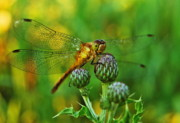 Dragonflies Art - Thistle Dragon by Michael Peychich