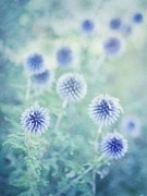 Blue Thistles Prints - Thistle Dreams Print by Priska Wettstein
