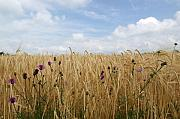 Thistle Photos - Thistle in wheat field by Jessica Rose