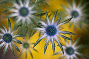 Thistle Photos - Thistle Stars by Mike Reid